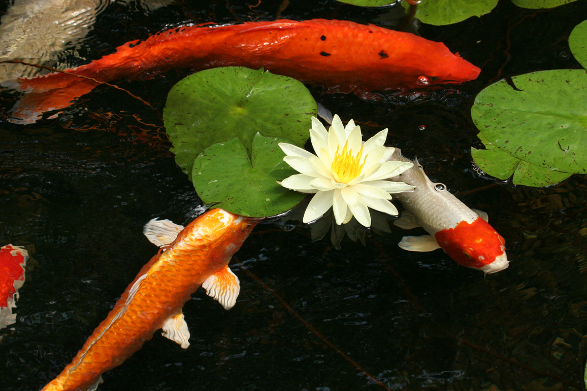 Feed and caring of koi fish aquareale pond blog for Koi pond photos