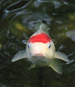 Feed and caring of koi fish aquareale pond blog for Koi fish care