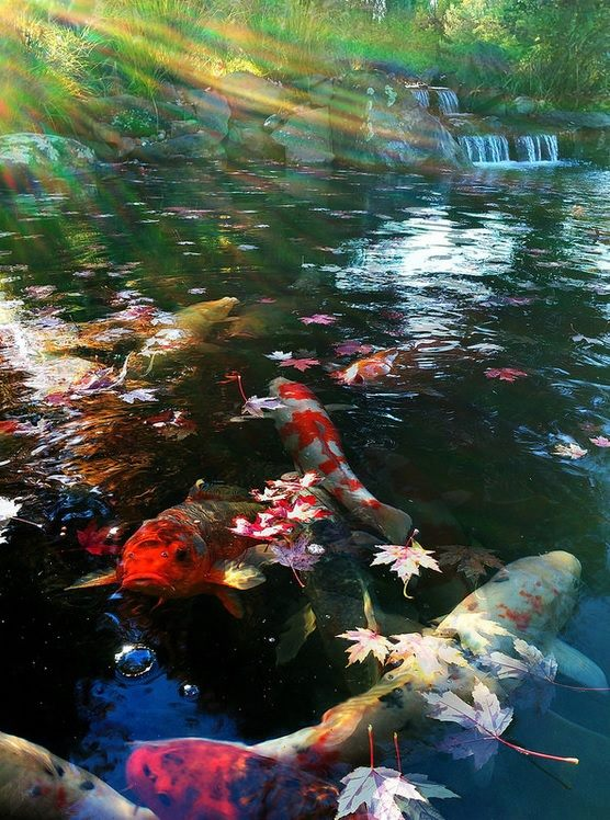 What is a koi pond and should i get one aquareale pond blog for Koi pond maintenance near me