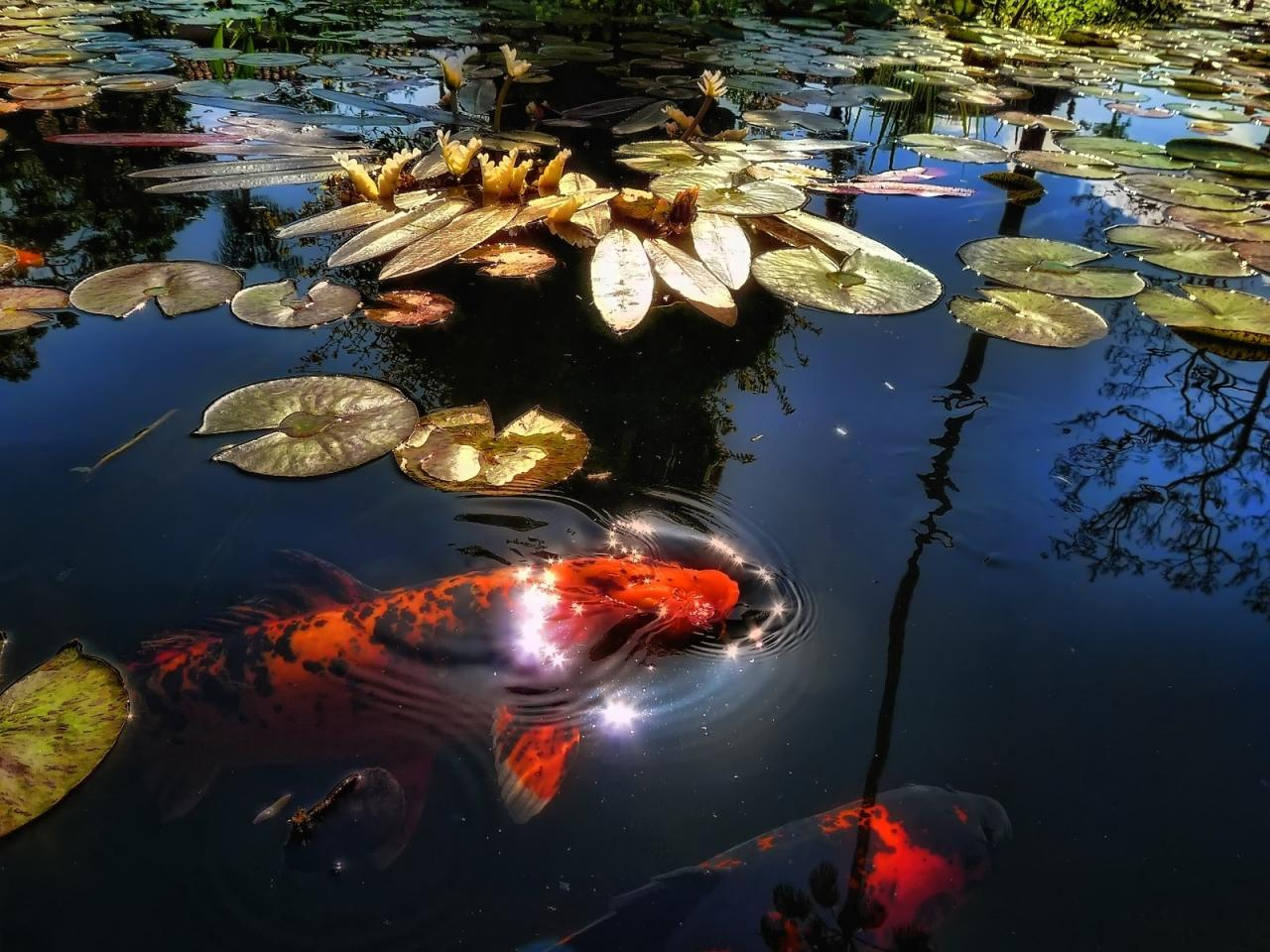 Koi Pond Myths