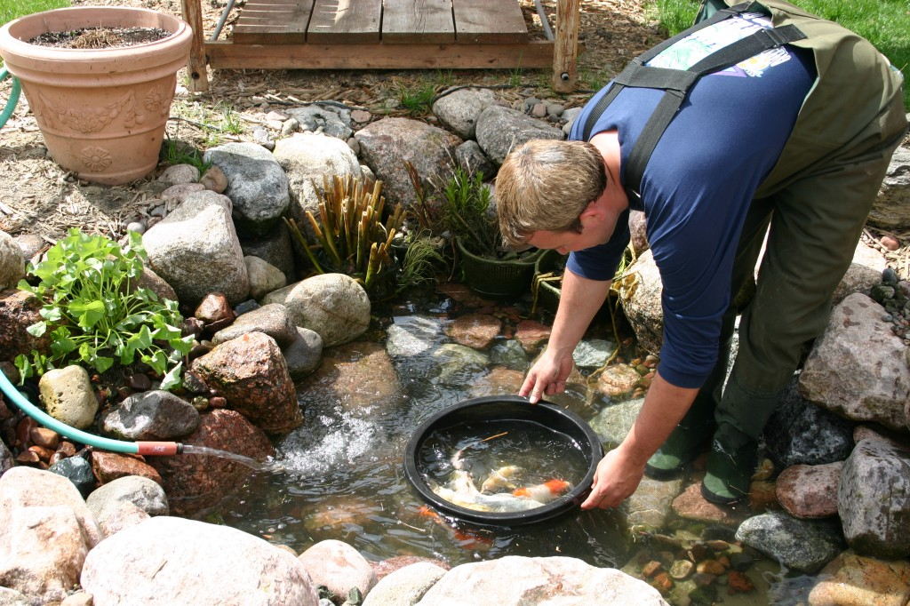 How to clean a koi pond