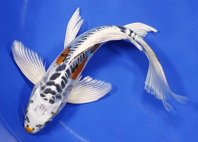 backyard pond fish-- butterfly koi