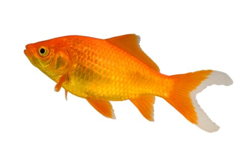 Backyard pond fish-- Goldfish