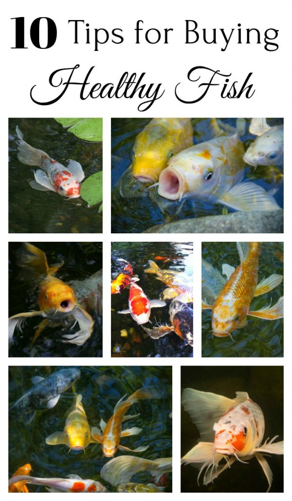 Healthy Pond Fish
