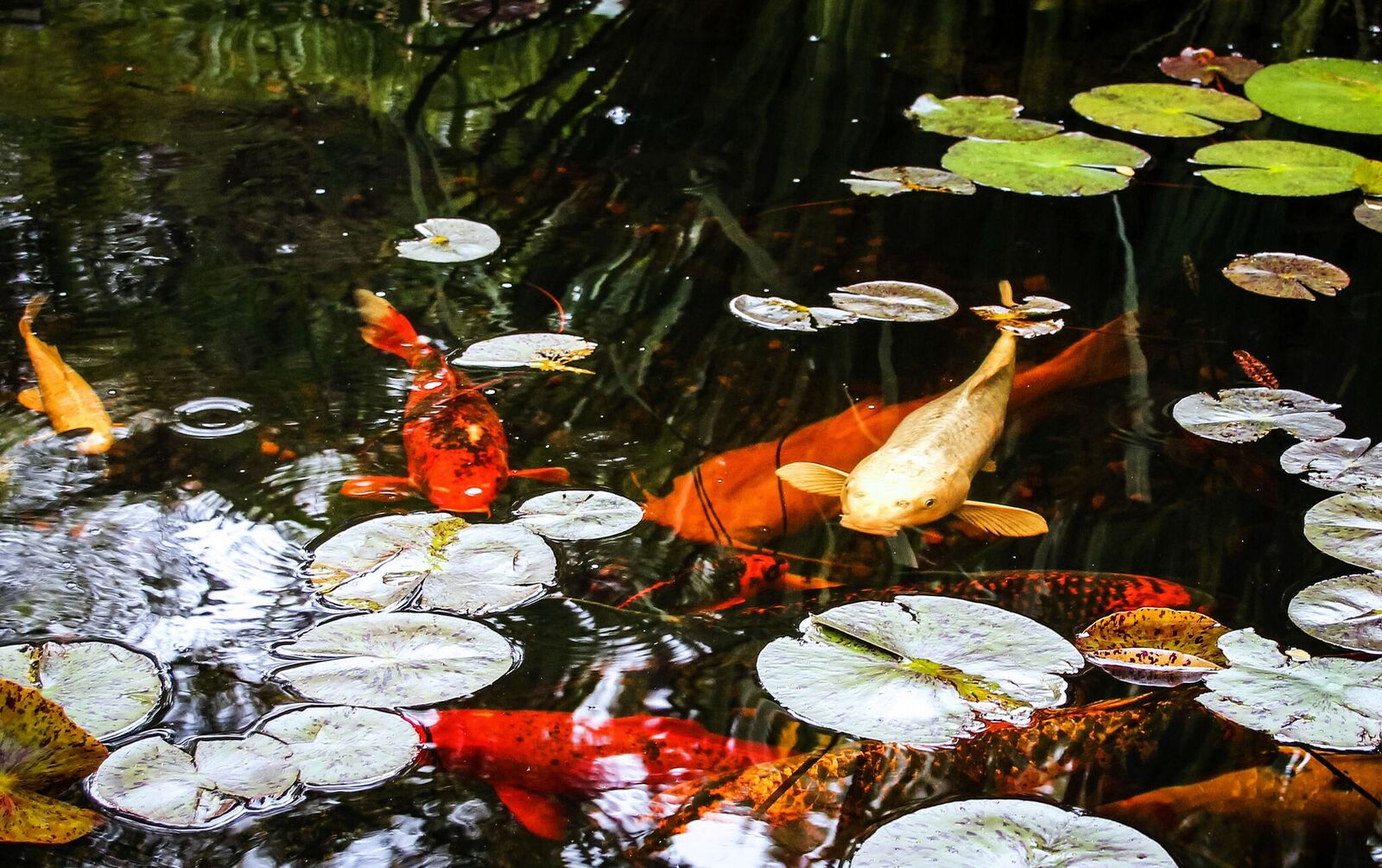 Pond and fish care archives aquareale pond blog for Koi pond fish