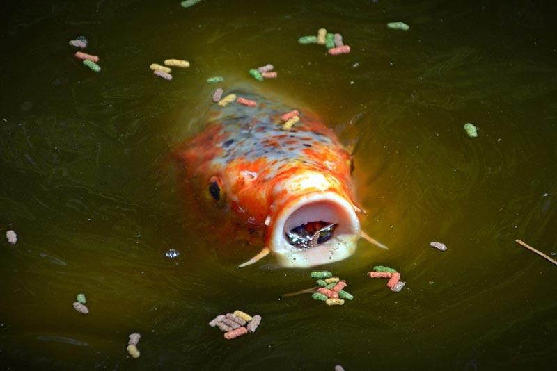 Koi eating pond fish food