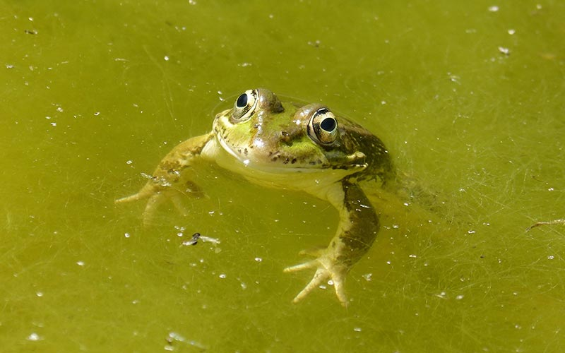 Koi Pond Algae Removal